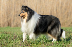Female Rough Collie Dog Stock Photos