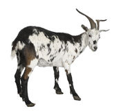 Female Rove goat, 3 years old Stock Photos