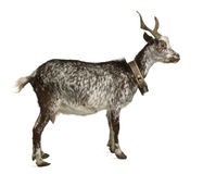 Female Rove goat, 3 years old Stock Photography