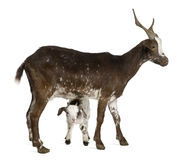 Female Rove goat with kid standing Royalty Free Stock Image