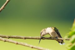 Humming Bird. Female Ruby-Red Throated Humming Bird  cleaning her beak on a branch in Searcy, Arkansas 2017 Stock Image