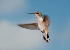 Female Ruby-throated Hiummingbird in flight Stock Image