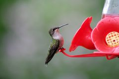 Female Ruby-throated Hummingbird Stock Photos