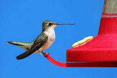 Free Female Ruby-throated Hummingbird Stock Photography - 20585802