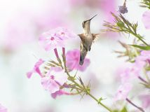 Female ruby throated hummingbird. Stock Photography