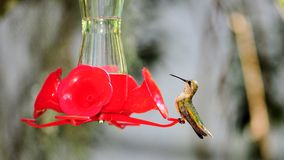 Female Ruby-throated hummingbird Stock Photography