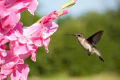 Female Ruby-throated hummingbird Stock Photos