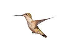 Female Ruby throated Hummingbird Royalty Free Stock Photos
