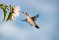 Female Ruby-throated Hummingbird Royalty Free Stock Images