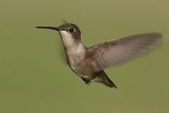 Female Ruby-throated Hummingbird (archilochus colubris) Stock Photography