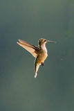 A female Ruby-throated hummingbird, Archilochus colubris, hovering. After drinking nectar from a feeder with a drop remaining at end of her beak stock images