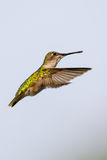 Female Ruby-throated hummingbird, Archilochus colubris, hovering near food source with her beak full of nectar royalty free stock photography