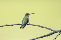 Female Ruby-throated hummingbird, Archilochus colubris, sitting on a branch. Looking straight slightly to the right and shot from her right shoulder royalty free stock photos