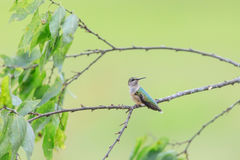 Female Ruby-throated hummingbird, Archilochus colubris, sitting on a branch looking back. Over her left shoulder and shot from side view royalty free stock photos