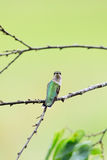 Female Ruby-throated hummingbird, Archilochus colubris, sitting on a branch looking back. Over her right shoulder and staring straight into the camera stock photography