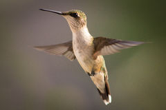 Female ruby throated hummingbird Royalty Free Stock Photography
