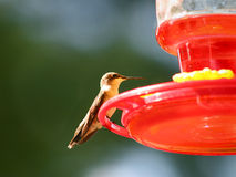 Female Ruby-Throated Hummingbird Stock Photo