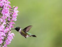 Female Ruby-throated Hummingbird feeds on Meadow Sage in S. Ruby-throated Hummingbird, Archilochus colubris, feeds on Meadow Sage Salvia Pretensis, a pink stock image