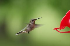 Female Ruby-throated Hummingbird in Flight. A female Ruby-throated Hummingbird flying from feeder to feeder to drink their sugar water in Northome, MN Stock Image