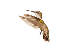 Female Ruby-throated Hummingbird in flight Stock Photography
