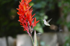 Female Ruby-Throated Hummingbird Stock Image