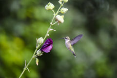 Female Ruby-Throated Hummingbird Royalty Free Stock Photography