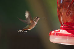 Female Ruby Throated Hummingbird In Flight Royalty Free Stock Photos