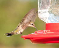 Female Ruby-throated Hummingbird hovering Stock Photos