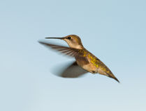 Female Ruby-throated Hummingbird hovering Stock Image