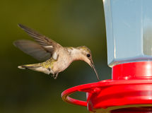 Female Ruby-throated Hummingbird hovering and feeding Stock Photo