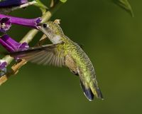 Ruby-throated Hummingbird Stock Photos