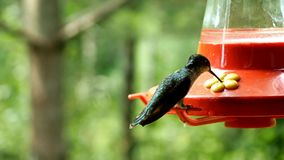 Female ruby throated hummingbird hovers and perches at feeder stock video footage