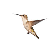 Female Ruby-throated Hummingbird, isolated Stock Photos