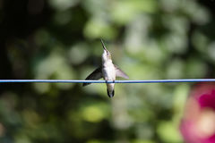 Female Ruby-Throated Hummingbird Royalty Free Stock Image