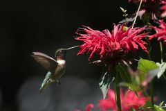 Ruby Throated Hummingbird Royalty Free Stock Photos
