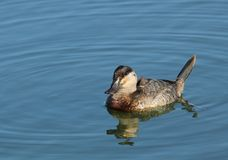 Ruddy Duck. Portrait of a female ruddy duck Royalty Free Stock Photography