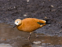 Female Ruddy shelduck Tadorna ferruginea on dirty ground, selective focus, shallow DOF Royalty Free Stock Image
