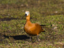 Female Ruddy shelduck Tadorna ferruginea on dirty ground, selective focus, shallow DOF Stock Photos