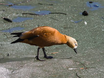 Female Ruddy shelduck, Tadorna ferruginea, on ice covered with water, selective focus, shallow DOF Stock Image