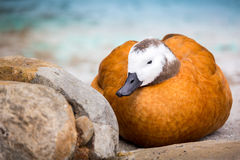 Female Ruddy Shelduck. The Ruddy Shelduck (Tadorna ferruginea) is a member of the duck, goose and swan family. It has a orange-brown body plumage. The female Stock Photo