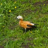 Female Ruddy shelduck Tadorna ferruginea standing in grass, selective focus, shallow DOF.  Royalty Free Stock Photography