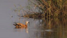 Ruddy Shelduck Near Reeds. Female Ruddy shelduck, Tadorna ferruginea, is swimming in pond near reeds Royalty Free Stock Photography