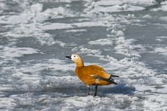 Female Ruddy shelduck Tadorna ferruginea walking on ice, selective focus, shallow DOF.  Royalty Free Stock Photo