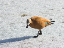 Female Ruddy shelduck Tadorna ferruginea walking on ice, selective focus, shallow DOF.  Stock Images