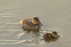 Female rudy duck and duckling Stock Photography
