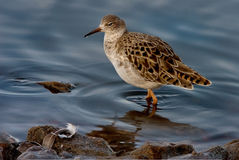 Female Ruff. A female Ruff searching for food in the shallow water of a lake in Lancashire England Royalty Free Stock Photography