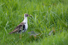 Female Ruff Royalty Free Stock Images