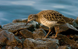 Female Ruff on the Rocks. A Female Ruff on rocks at the edge of the lake looking for food in Lancashire, England Royalty Free Stock Image