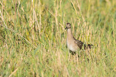 Female ruff. Wild Reeve walking on a coastal meadow Royalty Free Stock Photos