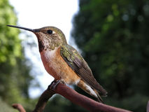 Female Rufous Hummingbird Stock Images